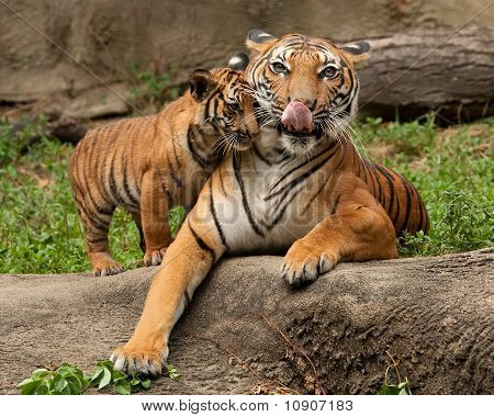 A Mother Tiger and Cub