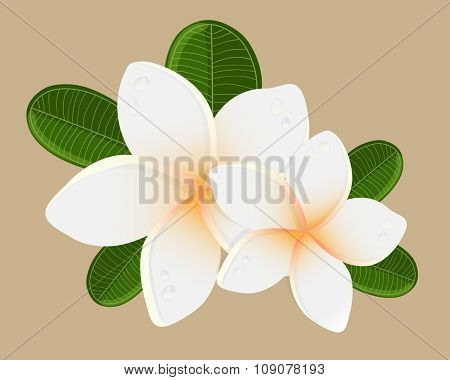 White plumeria  flower.  Vector illustration of white Two Frangipani flowers with green leaveson beige backgrouns. Spa or beauty center logo.