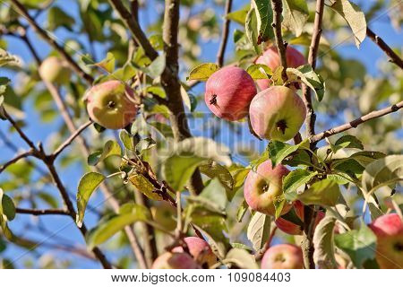Apples On Branches With Selected Focus Over Blue Sky