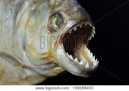 Piranha face