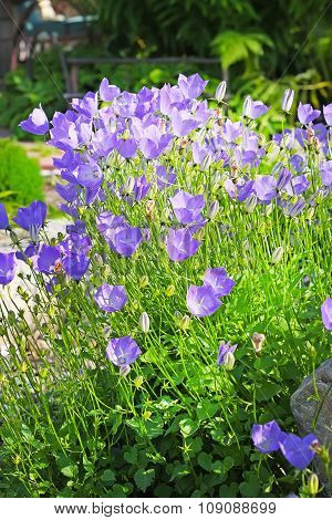 Bellflower (Campanula carpatica) - plant species of the genus Campanula, family Campanulaceae. Blue flowers poster