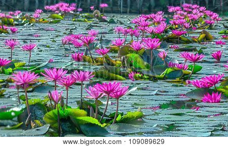 Carpets quiet lakeside waterlily