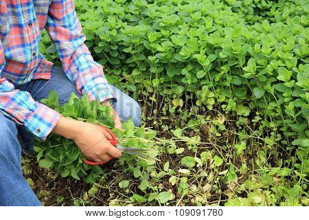 picking green mint plants at garden