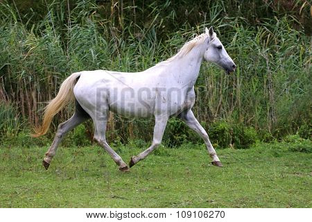Arabian Young Grey Horse Galloping On Pasture Against Green Background