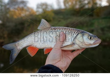 Chub in fisherman's hand, water and trees in the background
