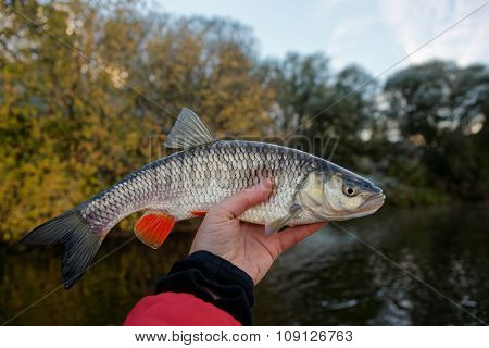 Chub in fisherman's hand, late autumn