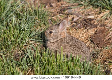 Cute Young Cottontail Rabbit