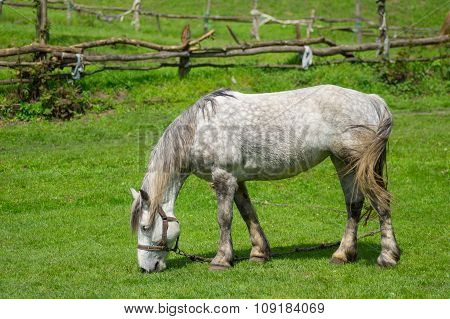 Lonely mare grazing on spring pasture