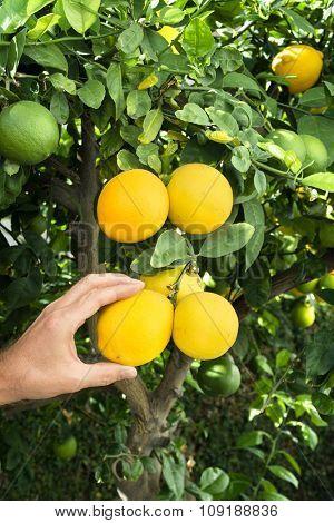 A man snips three ripe lemons from a lemon tree to make lemonade