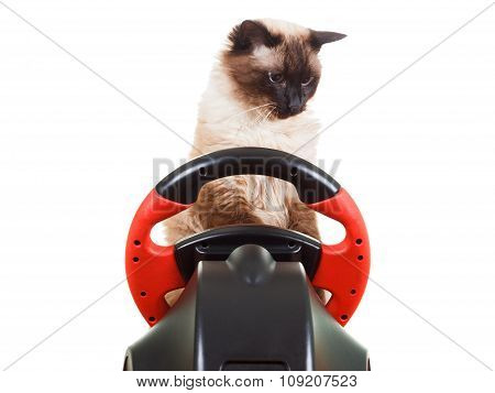Cat playing a video game console steering wheel with deadpan expression on his face fluffy isolated on white poster