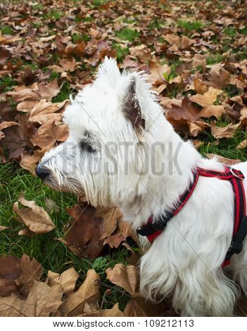 Westie Between The Leaves