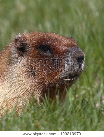 A Yellow-bellied Marmot Thinking About The Day In Colorado