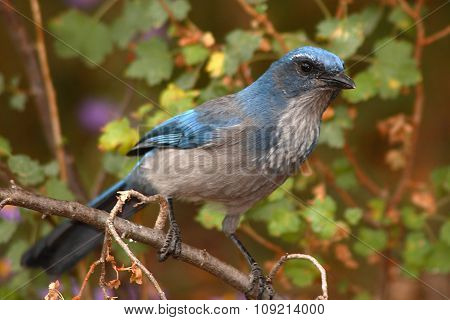 A Western Srub-Jay Peering In From A Perch In New Mexico
