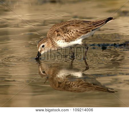 A Western Sandpiper making a strike along the shoreline of the Atlantic Ocean in Florida.