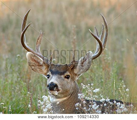 A trophy Mule Deer buck resting during the afternoon in a meadow in New Mexico.