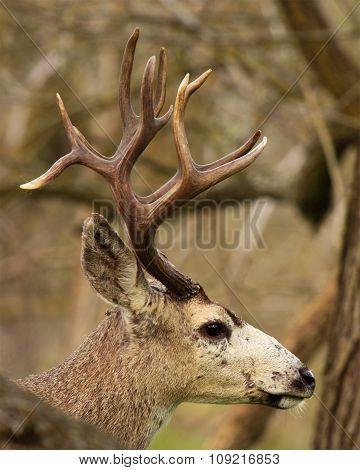 Trophy Black-tailed Deer Buck
