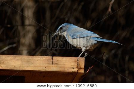 Western Scrub Jay or Aphelocoma californica perched in wooden bird feeder poster