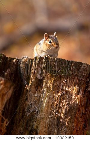 Wild Chipmunk On Log