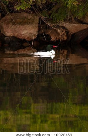 Wild Male Common Merganser Swimming By Shore