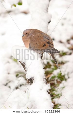 Morning Dove Enduring The Cold