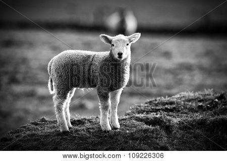 Sheep  stood on a hill