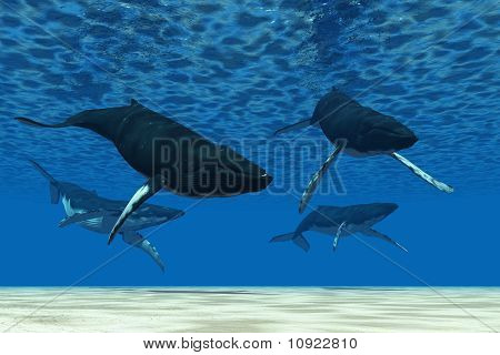 A group of Humpback whales swim in ocean shallows. poster