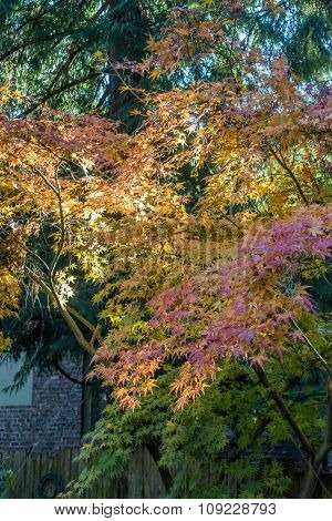 The leaves have turned on this Japanese Maple in a backyard somewhere in the Pacific Northwest. poster