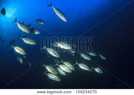 School of fish in ocean: Bigeye Trevally (Jack fish)