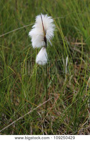Cotton Gras