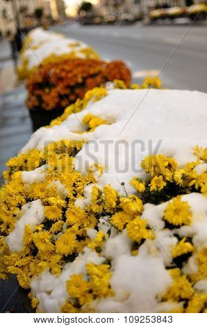 Early Snow On Marigolds