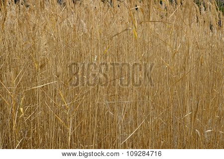 Thick High Dry Brooms Edge Grass In Autumn Wild Field.