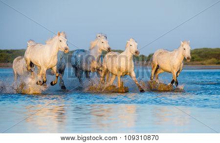 White Camargue Horses Running On The Blue Water In Sunset Light.