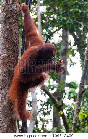 Orang Utan sitting on a tree in jungle