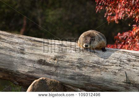 Woodchuck (marmota Monax) Snoozes On Log
