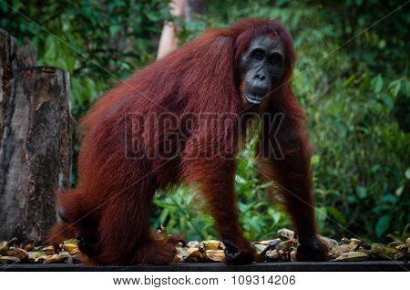 Female Orangutang walking in the jungle
