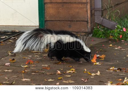 Striped Skunk (mephitis Mephitis) Walks Near Home