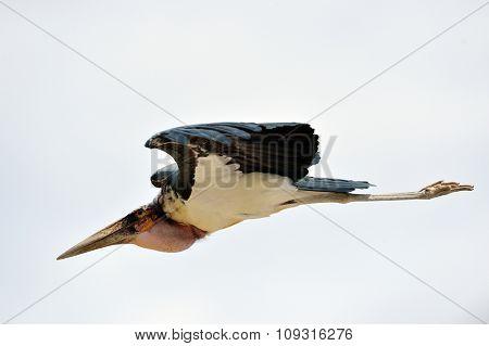 marabou bird flying outdoor