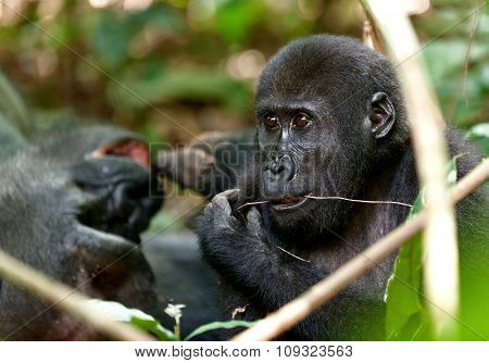 Portrait Of Eating Western Lowland Gorilla (gorilla Gorilla Gorilla) Close Up At A Short Distance. A