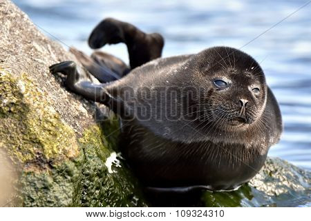 Ladoga Ringed Seal ( Pusa Hispida Ladogensis) Close Up. The Ladoga Seal In A Native Habitat