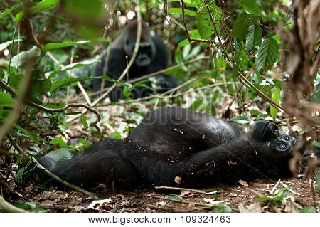 Gorilla In Congo, Western Lowland Gorilla In Jungle Congo.