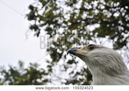 The African Fish Eagle (haliaeetus Vocifer) Portrait Of An African Fish Eagle Close Up At A Short Di