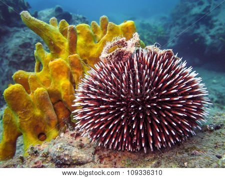 Underwater Photo Of Purple Sea Urchin.