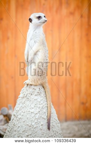 meerkat stands on a hill