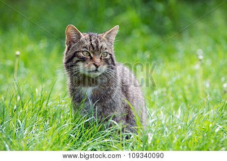 Scottish Wildcat(Felis Silvestris Grampia)