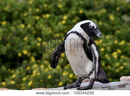 Portrait Of African Penguin (spheniscus Demersus
