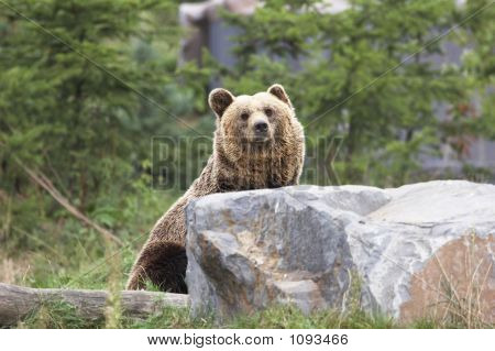 lovely brown bear behind a stone looking up 001 poster