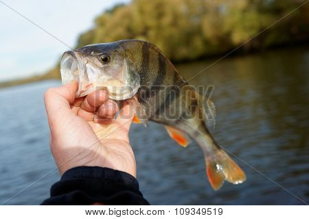 Perch in fisherman's hand, safe lip grip