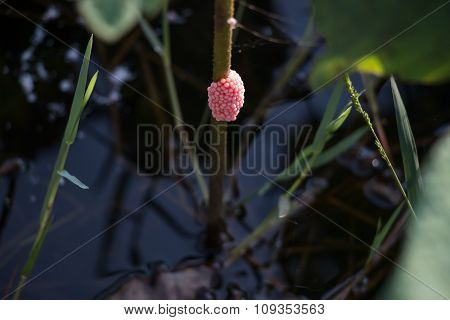 Apple snail eggs on the Lotus trunk, Sherry snail eggs are the garden pests of farmer/ agriculturist