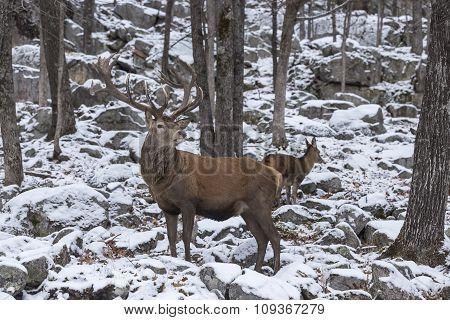 A large Wapiti in a winter scene