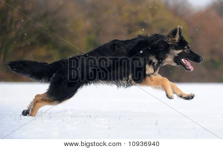 Black German Shepherd in the snow field